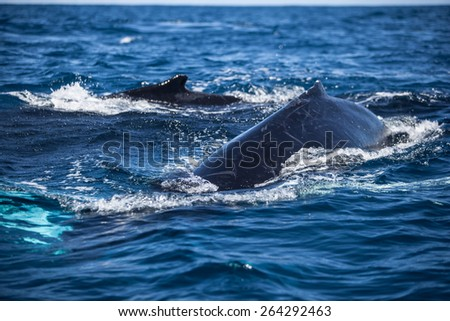 A Humpback whale (Megaptera novaeangliae) surfaces in the Atlantic Ocean. This endangered cetacean species migrates from the Northern Atlantic to the Caribbean each winter to breed or give birth. - stock photo