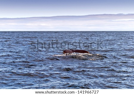 A Humpback Whale. The black tail of a humpback whale in the sea. - stock photo