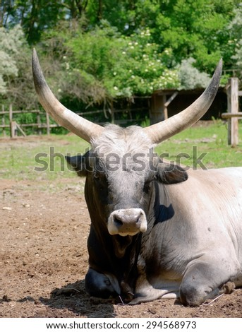 A Hungarian grey cattle relaxing in the sun.  - stock photo