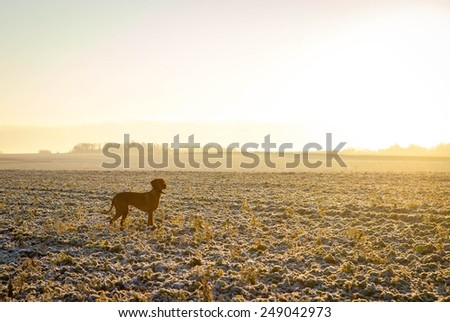 A Hungarian Vizsla looking for quarry over frosty fields shortly after first light - stock photo