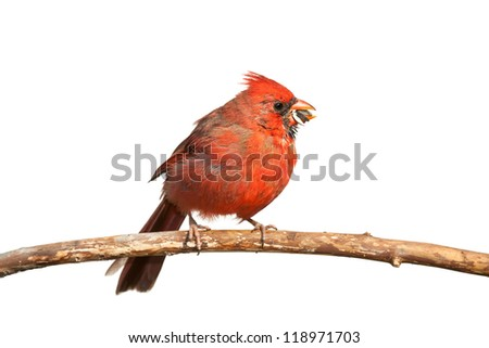 A hungry cardinal eats a sunflower seed. The seed, partly chewed, falls from its beak, white background - stock photo