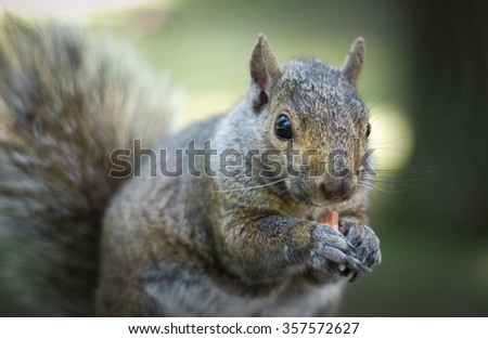 A hungry North American grey squirrel chows down on a peanut in a park.  Close up of park animals in Ottawa, Canada. - stock photo