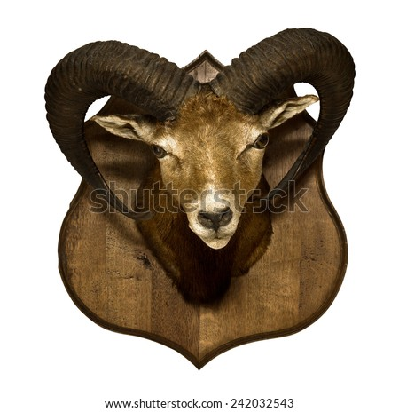 A hunting trophy: Head of hungarian mouflon isolated on white - stock photo