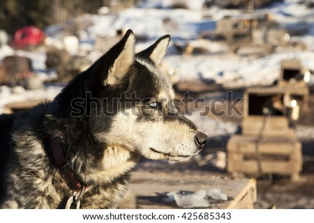 A husky sled dog listening alertly to other dogs in the kennel in the background. The white eyes are a natural result of the merle gene in huskies which changes the pigmentation of the eye. - stock photo