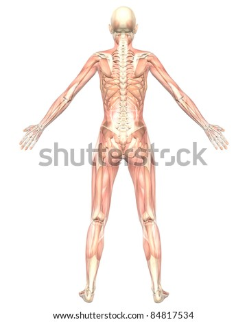 A illustration of the rear view of the female muscular anatomy, semi transparent showing the skeletal anatomy. Very educational and detailed. - stock photo