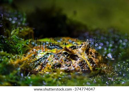 a Image exotic amphibians Brazilian horned toadf - stock photo