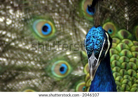 A Indian Blue Peafowl (Pavo Cristatus) with its feathers fanned in the background. - stock photo