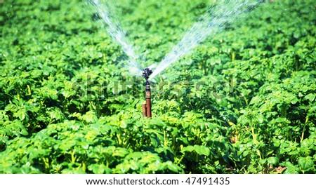 a Irrigation sprinkler in a potato field - stock photo