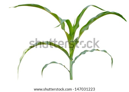 a Isolated image of a young corn stalks - stock photo