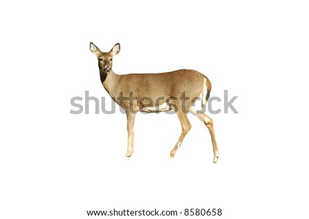 A isolated picture of a doe deer taken in a forest in Indiana - stock photo
