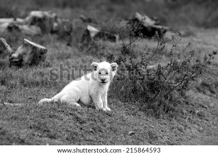 A isolated young white lion cub in this black and white image. - stock photo