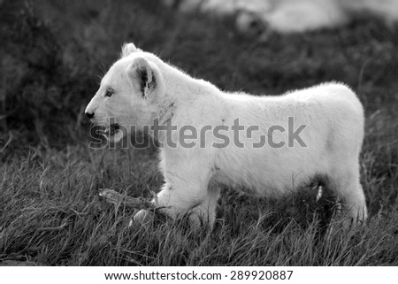A isolated young white lion cub in this image. - stock photo