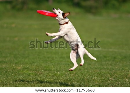 A jack russel terrier catching frisbee - stock photo