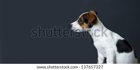 a Jack Russell terrier puppy portrait on dark background before he sadly observed - stock photo