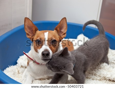 A Jack Russell terrier with pointy ears looks towards the camera as she is nuzzled by her kitten friend in a basket. - stock photo