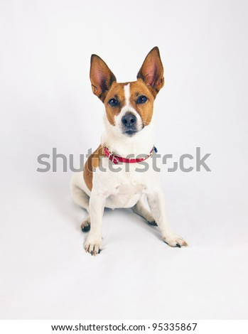 A Jack Russell terrier with pointy ears on a white background. - stock photo