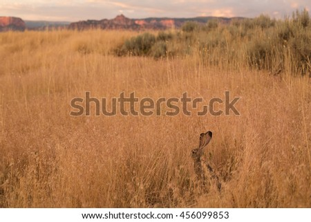 A jackrabbit sitting up and watching for danger in a field of wheat on Smith's Mesa in Southern Utah.  Mountains of Zion National Park in the distance. - stock photo
