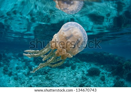 A jellyfish (Mastigias papua) pulses in shallow water of a marine lake in Palau.  This jellyfish has a mutualistic symbiosis with photosynthetic algae. - stock photo