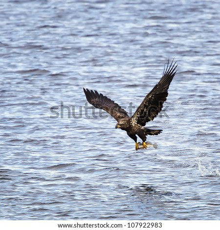 A juvenile Bald Eagle with a freshly caught fish in his talons right after catching the fish out of the river. - stock photo