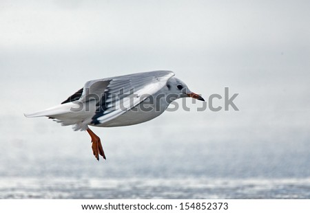 A juvenile black-headed gull (Chroicocephalus Ridibundus) - stock photo