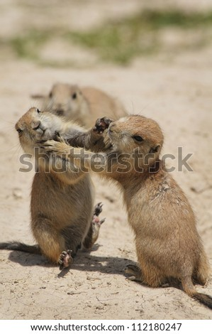 A juvenile black-tailed prairie dog is knocked off its feet by its sibling during a wrestling match as a parent looks on. - stock photo