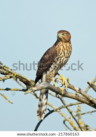 A juvenile Cooper's hawk searches its surroundings for signs of small bird prey. - stock photo