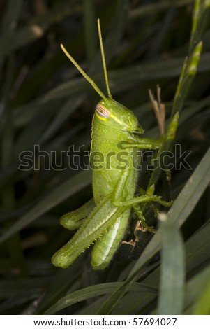A juvenile grasshopper hides in the grass. Great focus on wing and leg detail. - stock photo