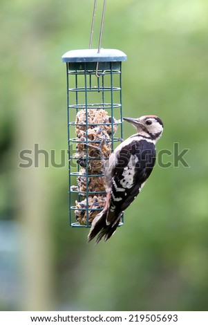 A juvenile Great Spotted Woodpecker feeding on fat balls in a Cambridge garden, England, UK. - stock photo