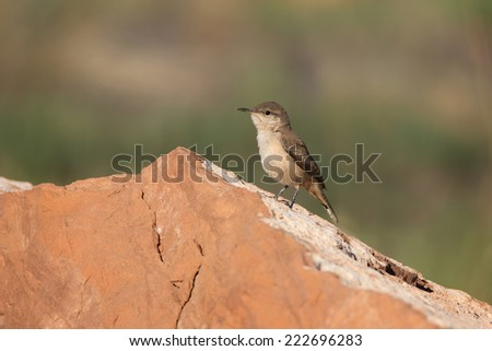 A juvenile Rock Wren (Salpinctes obsoletus) perches curiously on a rock at  the Grafton ghost town nearby Zion National Park, Utah. - stock photo