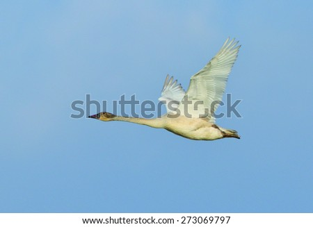 A juvenile trumpeter swan flies through the clear blue sky. - stock photo