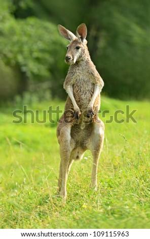 A kangaroo is in a natural habitat - stock photo