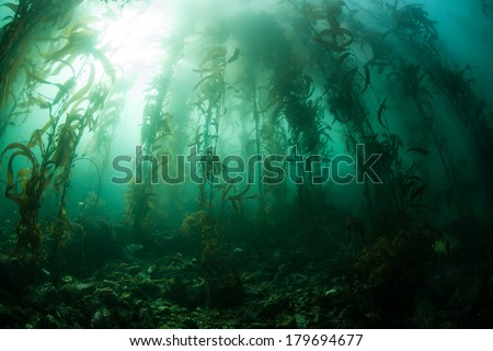 A kelp forest, dominated by giant kelp (Macrocystis pyrifera), grows off the coast of northern California. This is an important habitat for a diverse array of eastern Pacific marine life. - stock photo