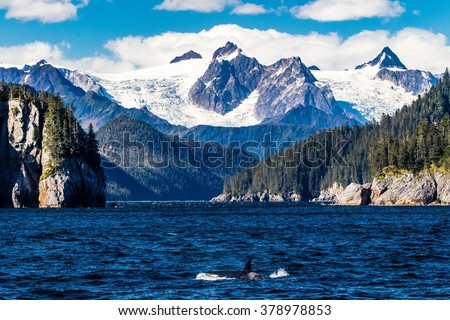 A killer whale comes to the surface below the massive glaciers of the Kenai Fjords in Alaska - stock photo