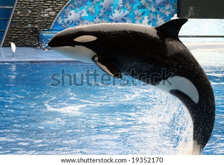 A killer whale jumping out of the water. - stock photo