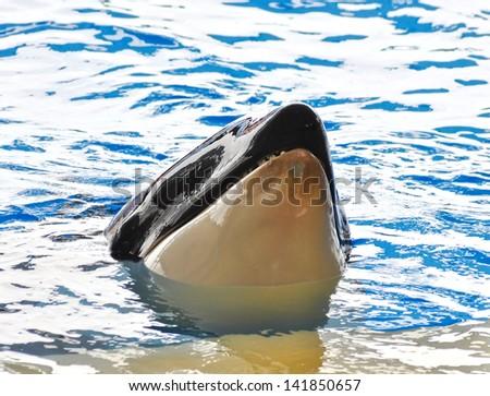 A killer whale, Orcinus Orca - stock photo