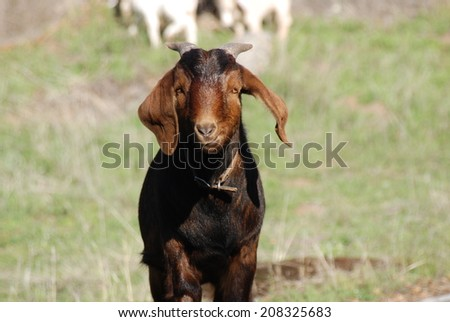 A Kinder buckling walks across the pasture in rural California. He is a Boer & Kinder cross. Kinders are dual purpose goats while Boers are a meat breed. This is a twin from a Kinder doe & Boer buck - stock photo