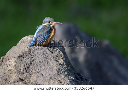 A kingfisher perched on a rock in warm sunlight. - stock photo