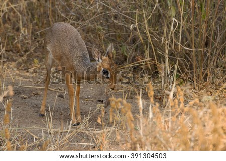 A Kirk's dik-dik (Madoqua kirkii), foraging in the Tarangire national park, Tanzania.  The dik-dik has a pre-orbital gland which it uses to mark its territory. - stock photo