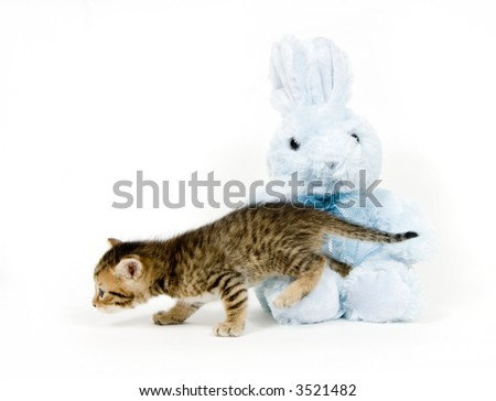 A kitten climbs over a stuffed bunny rabbit on white background - stock photo