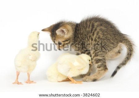 A kitten is overrun by a group of baby chicks on a white background. All are being raised on a farm in Illinois - stock photo