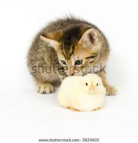 A kitten licks a baby chick on white background. Both are being raised on a farm in Illinois - stock photo