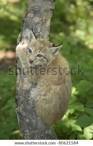 a kitten of lynx is in natural among  in the taiga  of the Seashore  region ,     Russia a kitten of lynx is in natural among  in the taiga  of the Seashore  region ,     Russia - stock photo