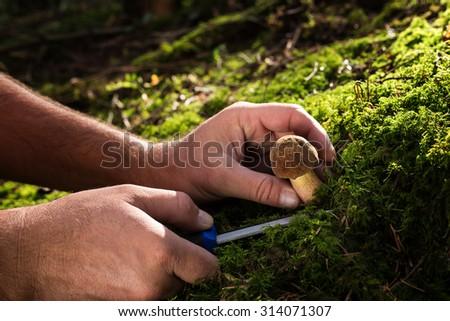 a knife slicing mushrooms, harvesting fungi - stock photo