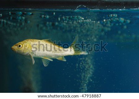 A koi carp fish swim in the glass aquarium. - stock photo