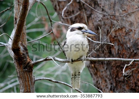 A kookaburra or Laughing Bird (Dacelo) is sitting on a branch - stock photo