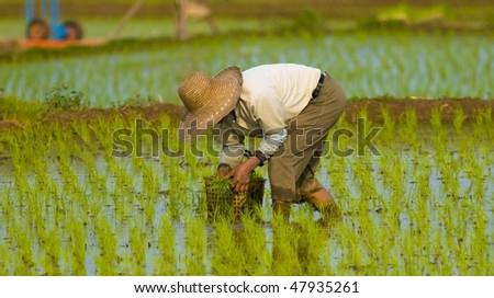 A Korean farmer planting rice. - stock photo