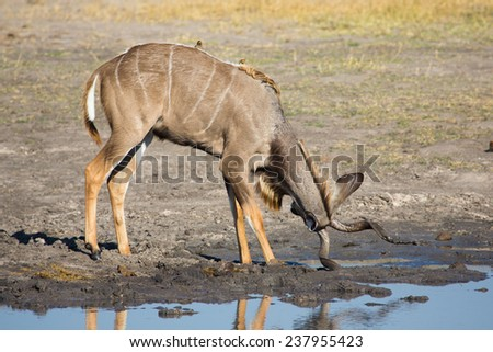 A kudu bull, Tragelaphus strepsiceros, rubbing his horns in the mud beside a waterhole to rid himself of boring parasites in Hwange National Park, Zimbabwe. - stock photo