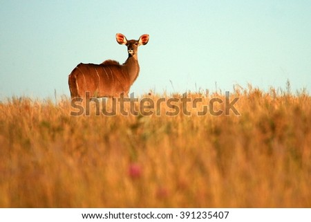 A kudu cow(antelope) in an open grass field. Taken on safari in South Africa - stock photo
