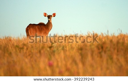 A kudu cow ( antelope ) in an open grass field. This landscape wildlife photo was taken in South Africa - stock photo