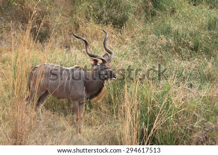 A Kudu male with long horns grazing in the  Kruger National Park - stock photo